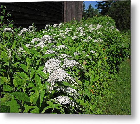 Gooseneck Flowers Metal Print featuring the photograph Gooseneck by MTBobbins Photography