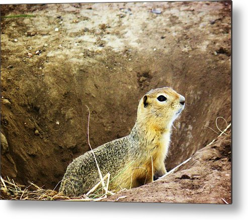 Animal Metal Print featuring the photograph Gopher by Sharleen Adam