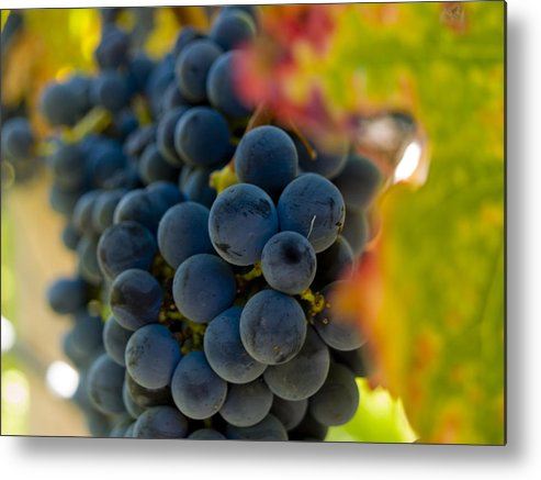 Grape Metal Print featuring the photograph Grapes On The Vine by Bill Gallagher