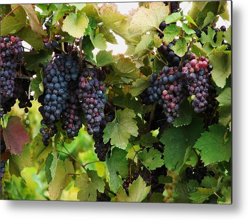 Grapes Metal Print featuring the photograph Grapevines #2 by Mia Capretta