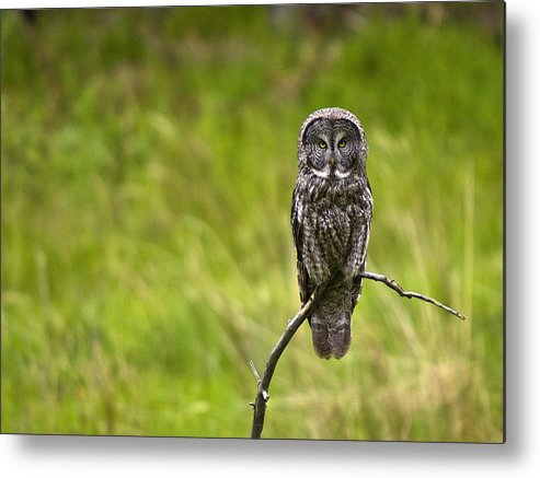 Great Grey Owl Metal Print featuring the photograph Great Grey Owl by Scott Moss