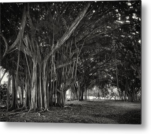 Banyan Metal Print featuring the photograph Hawaiian Banyan Tree Root Study by Daniel Hagerman