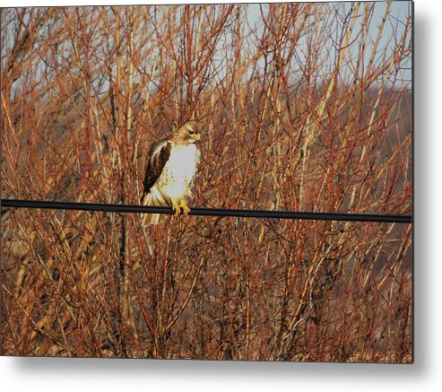 Red Tail Hawk Metal Print featuring the photograph Hawk #22 by Todd Sherlock