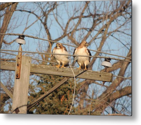Two Hawks On A Telephone Pole Red Tail Metal Print featuring the photograph Hawk Talk by Todd Sherlock