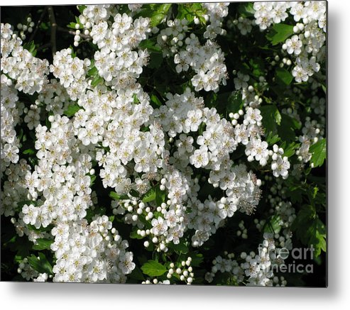 Hawthorn Metal Print featuring the photograph Hawthorn In Bloom by Ann Horn
