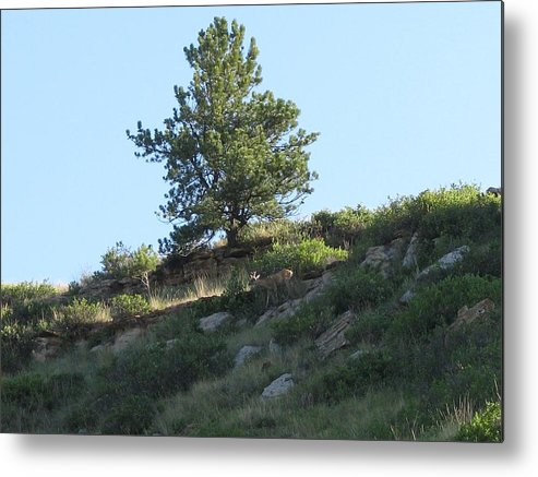Buck Metal Print featuring the photograph Hillside Scenery With White Tail Buck. by Vaswaith Elengwin