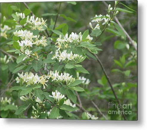 Honeysuckle Metal Print featuring the photograph Honeysuckle Blossoms by Conni Schaftenaar