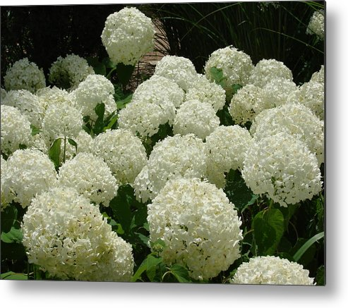 Flowers Metal Print featuring the photograph Hydrangea by Barbara Fonseca