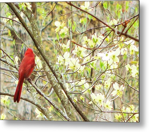 Cardinal Metal Print featuring the photograph In A Dogwood Tree by Stacey Pollio