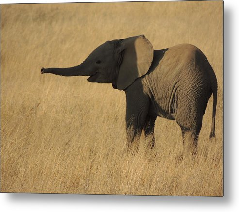 Elephant Metal Print featuring the photograph In The Shadow Of Her Mother by Lauren Armstrong