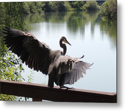Great Blue Heron Metal Print featuring the photograph Landing by Lucy Howard