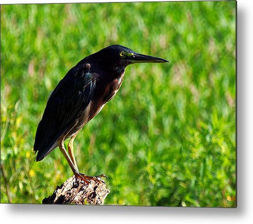 Circle B Bar Reserve Green Heron Metal Print featuring the photograph Little Green Heron 003 by Chris Mercer