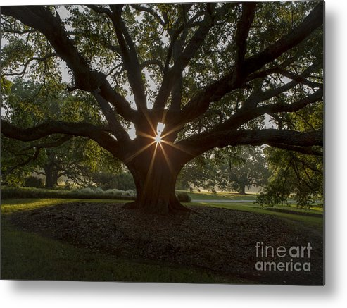 Live Oak Tree Metal Print featuring the photograph Live Oak With Early Morning Light by Kelly Morvant