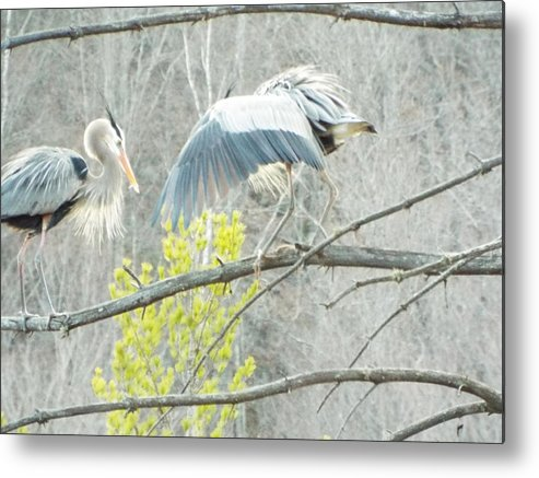 Heron Photographs Metal Print featuring the photograph Loving Pair by Cheryl King
