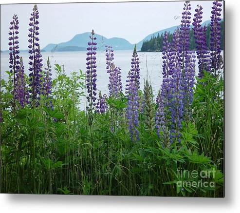 Maine Metal Print featuring the photograph Lupine At Sorrento by Christopher Mace
