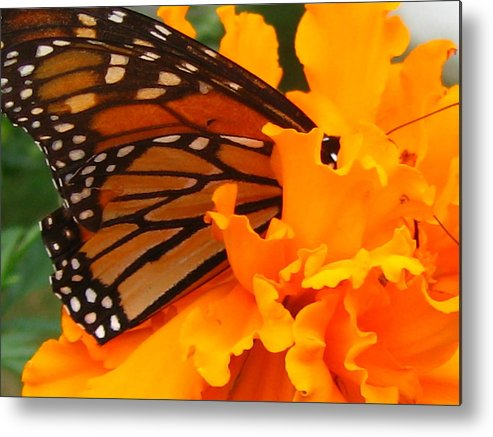 Monarch Metal Print featuring the photograph Monarch In The Marigold by Tim Canwell