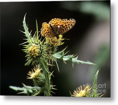 Butterfly Metal Print featuring the photograph Monarch On Thistle by Kathy McClure