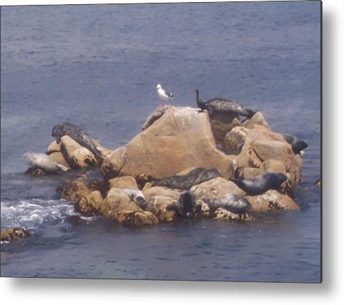 Seal Metal Print featuring the photograph Monterey Sun Bath by Pharris Art