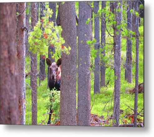 Moose Metal Print featuring the photograph Moosey by Connor Ehlers