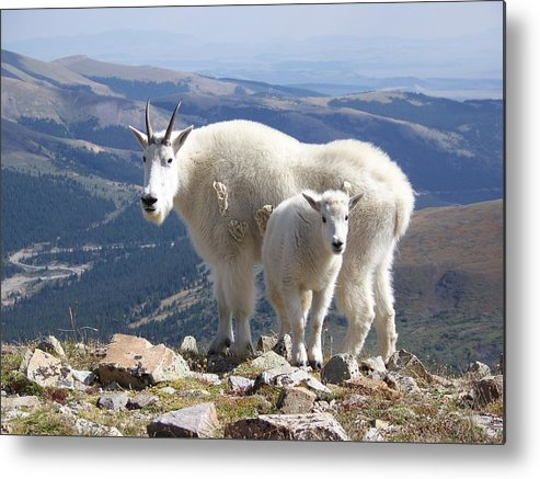 Mountain Metal Print featuring the photograph Mountain Goats - Quandary Peak by Aaron Spong
