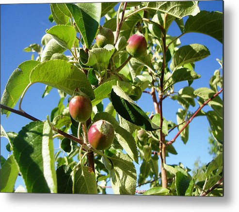 Apple Metal Print featuring the photograph New Apples by Lovina Wright