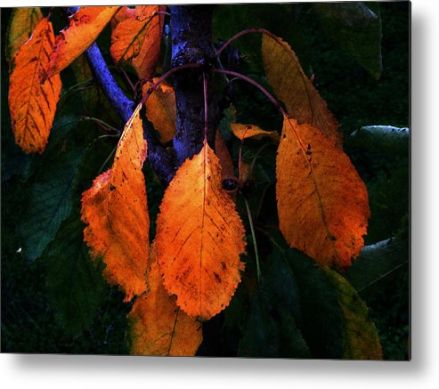 Orange Leaves Metal Print featuring the photograph Old Orange Leaves by Scott Hill