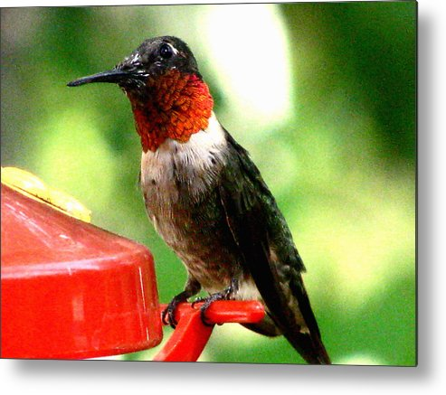 Hummingbird Metal Print featuring the photograph Orange Neck Hummer by Selma Glunn