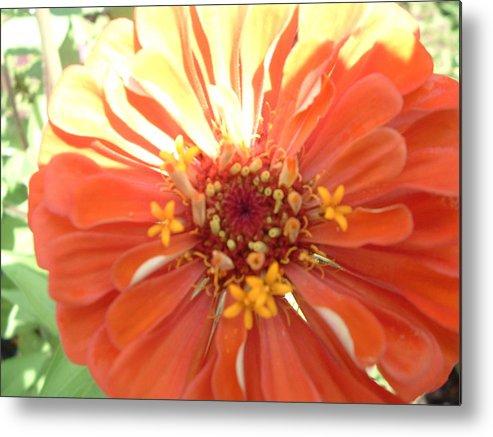 Flower Yard Zinnia Metal Print featuring the painting Orange Zinnia by Mary Crochet