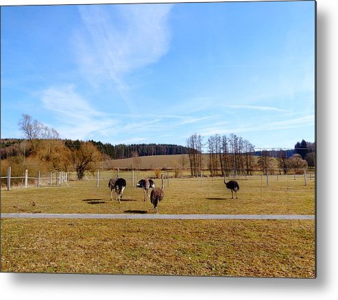 Animals Metal Print featuring the photograph Ostriches by Mhiss Little