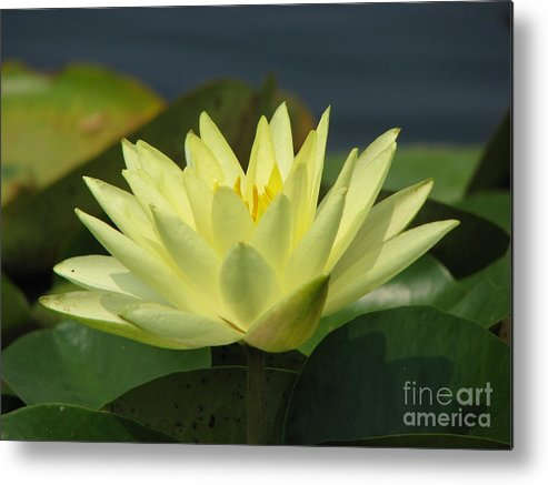 Lillies Metal Print featuring the photograph Peace by Amanda Barcon