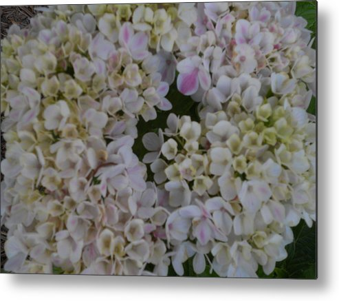 Peppermint Metal Print featuring the painting Peppermint Hydrangea by Dotti Hannum