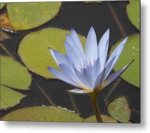 Blue Metal Print featuring the photograph Periwinkle Lily by Caryl J Bohn