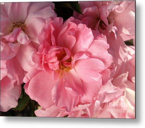 Pink Metal Print featuring the photograph Pink Cluster by Jacklyn Duryea Fraizer