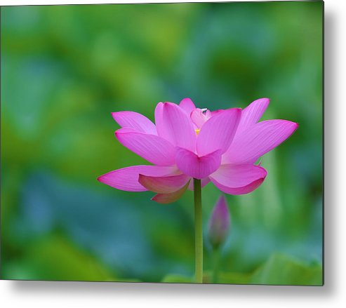 Pink Metal Print featuring the photograph Pink Lotus Flower by Jack Nevitt