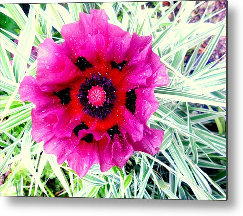 Pink Metal Print featuring the photograph Pink Poppy by Lucy H Pearce