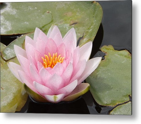 Pink Metal Print featuring the photograph Pink Water Lily And Leaves by Caryl J Bohn