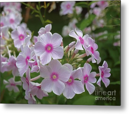 America Metal Print featuring the photograph Pink Wood-sorrel by Howard Stapleton
