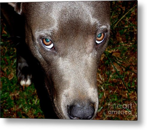 Brown Metal Print featuring the photograph Pit Bull - 1 by Mary Deal
