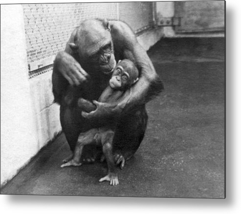 1930s Metal Print featuring the photograph Primate Discipline by Underwood Archives