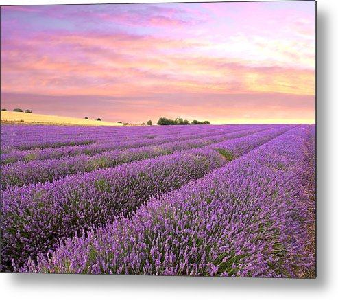 Purple Flowers Metal Print featuring the photograph Purple Haze - Lavender Field At Sunrise by Gill Billington