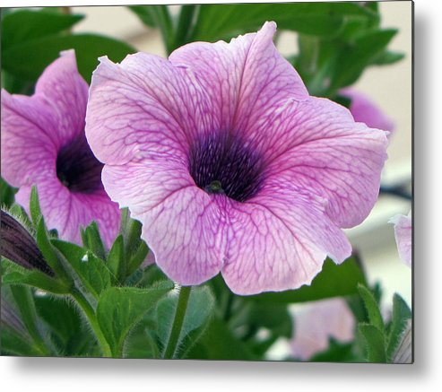 Flower Metal Print featuring the photograph Purple Petunia by Tikvah's Hope