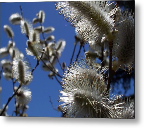 Nature Metal Print featuring the photograph Pussywillow by Maria Manna