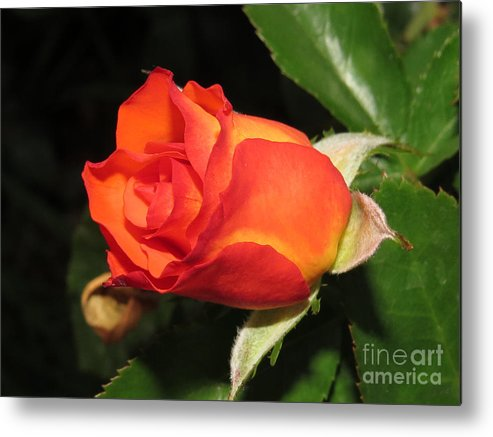 Rose Metal Print featuring the photograph red orange Baby Rose by Tomas Benavente