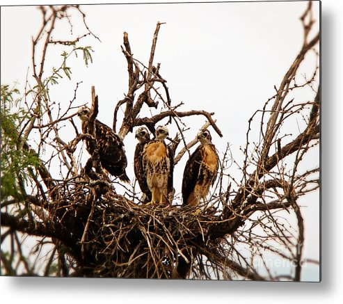 Hawks Photograph Metal Print featuring the photograph Red-tailed Hawk by Beverly Guilliams