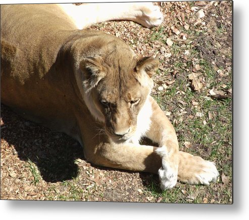 Nature Metal Print featuring the photograph Resting Lioness by Jared Best