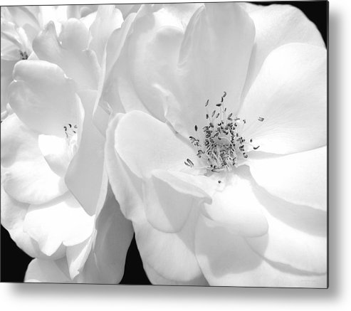 Rose Metal Print featuring the photograph Roses Soft Petals In Black And White by Jennie Marie Schell