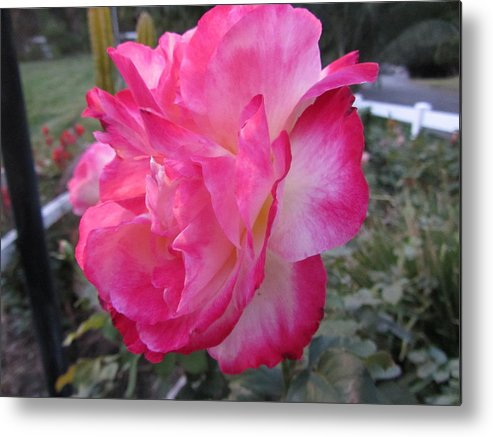 Flower Metal Print featuring the photograph Rosey Rose by Dody Rogers