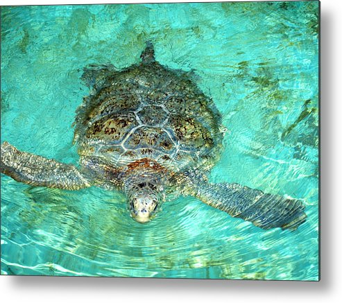 Turtle Metal Print featuring the photograph Single Sea Turtle Swimming Through The Water by Jessica Foster
