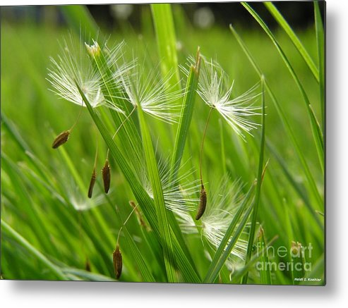 Dandelion Taraxacum Seeds Cut Lawn Grass Summer Metal Print featuring the photograph See You Next Year by H Koehler