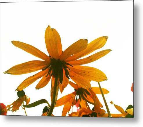 Flowers Metal Print featuring the photograph Shine That Bright by Lucy D